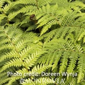 Australian Fern Tree