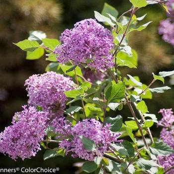 Bloomerang Reblooming Lilac