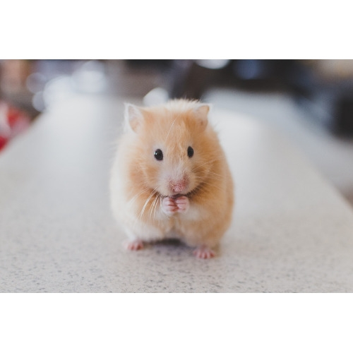 Select Hamsters on Sale for $8.99