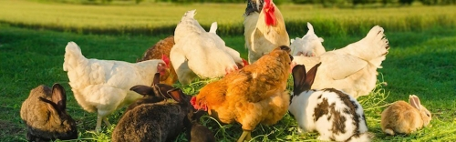 Farm & Chickens