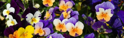 Pansies Are Here!