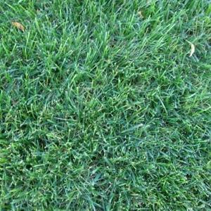Rohrer Seeds Sport Turf Grass Blend