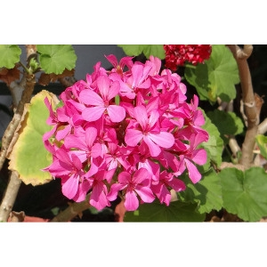 Beautiful Seed Geraniums $1.49 each