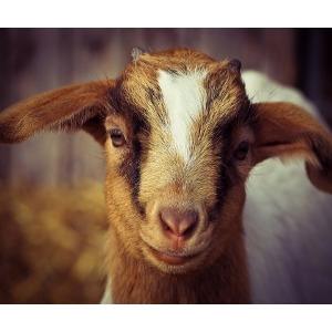 16% Non GMO Goat Feed