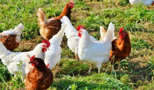 Why Chickens Stop Laying Eggs and Molt in the Fall