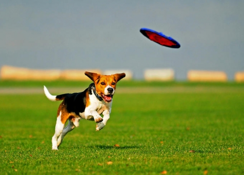 How To Train A Dog To Catch A Frisbee