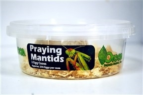 Preying Mantids (3 Egg Cases)