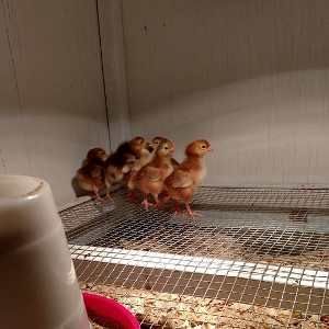 Chick Day!
