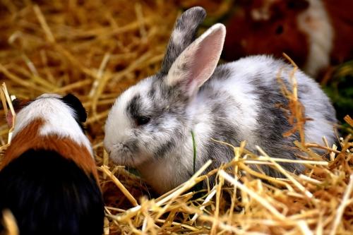 Guinea Pig & Rabbit Social