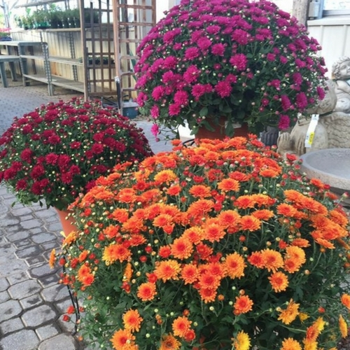 Barrett's Grown Garden Mums