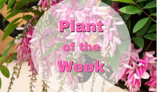 Plant of the Week: Chinese Pink Indigo