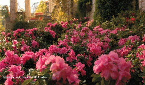 Plant of the Week: Encore Azaleas