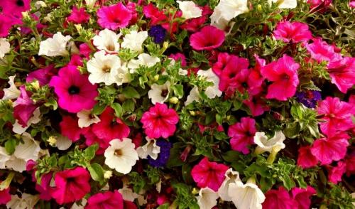 Plant of the Week: Petunias