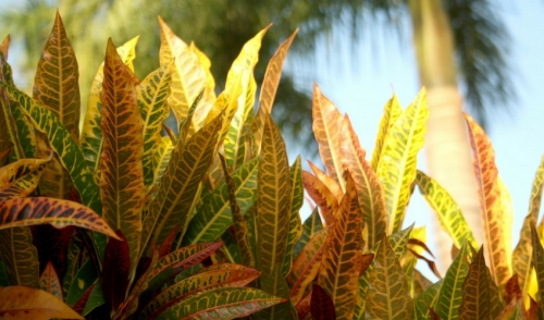 Plant of the Week: Crotons