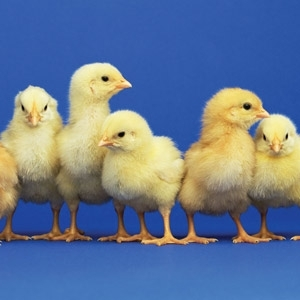 Chick Days Are Coming Soon!