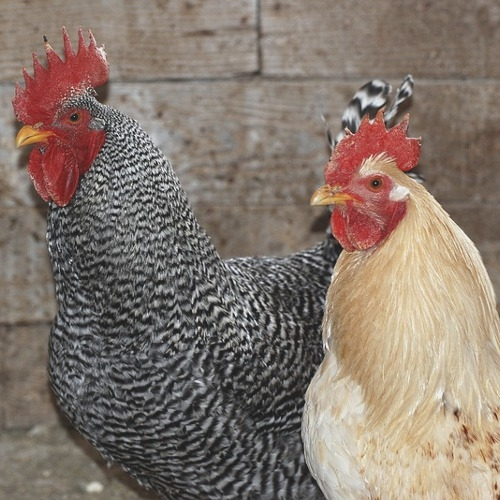 Chicken Stock Event