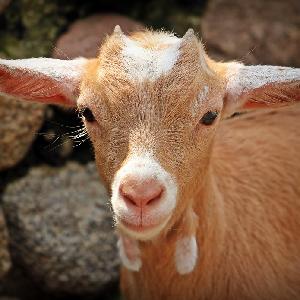 Caprine Challenger Coarse Goat Feed 50lb
