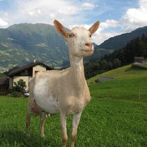 Premium Dairy Goat Pellets 50lb